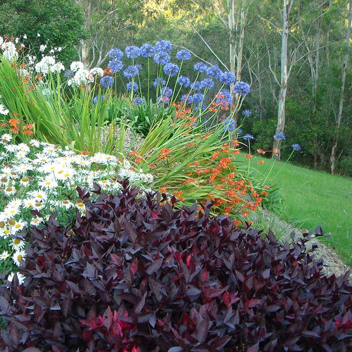 agapanthus, shasta daisies, crocosmia and alternanthera planting