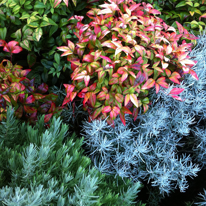 colourful nandina domestica nana, silver foliage and fragrance of curry plant