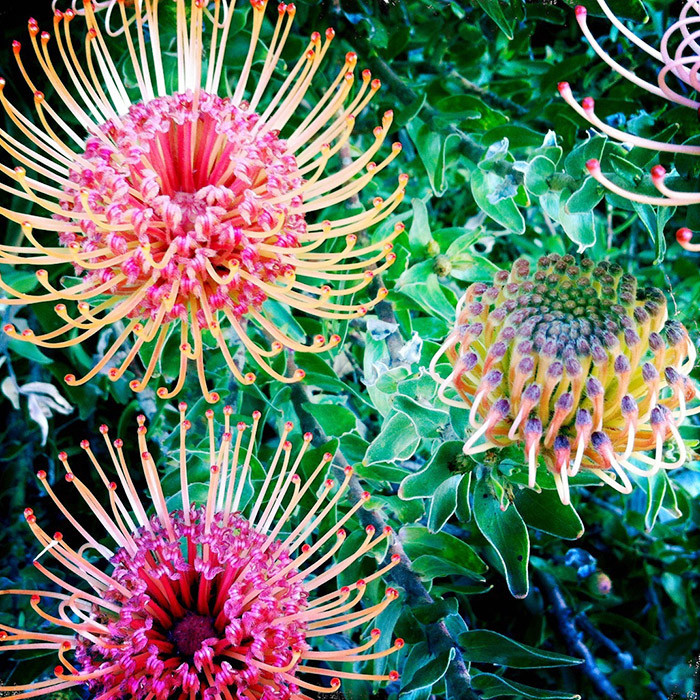 garden with leucospermum flowers